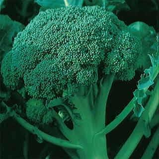 Coronado Crown Hybrid Broccoli Seeds