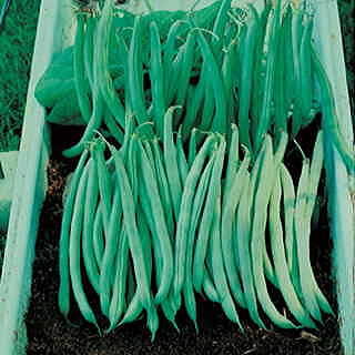 Tenderette Bean Seeds
