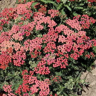 Red Shades Yarrow Seeds