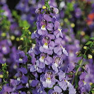 Blue Serena™ Angelonia Seeds