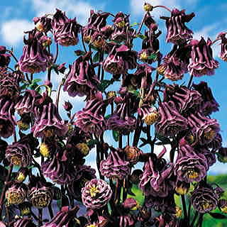 Double Pleat Blackberry™ Columbine Seeds