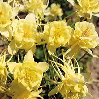 Sunshine™ Columbine Seeds
