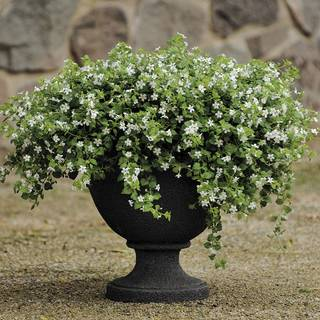 Snowtopia™ Bacopa Seeds