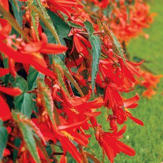 Santa Cruz™ Sunset Begonia Seeds