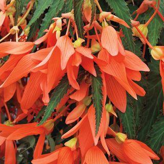 San Francisco Begonia Seeds