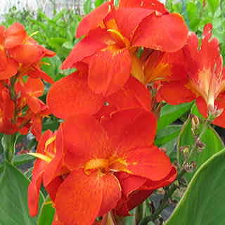 Canna South Pacific Scarlet Seeds