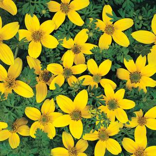 Golden Eye Bidens Seeds
