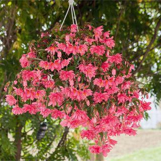 Funky® Pink Begonia Seeds