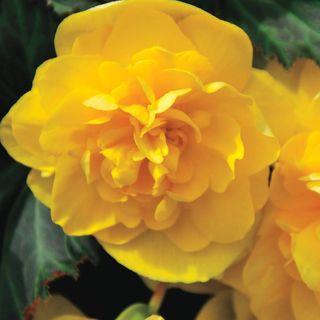 Nonstop® Joy Begonia Seeds Image