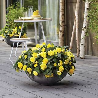 Nonstop® Joy Begonia Seeds