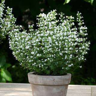 Marvelette White Calamint Seeds