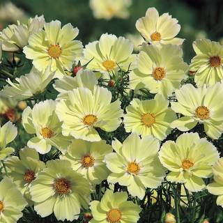Xanthos Cosmos Seeds