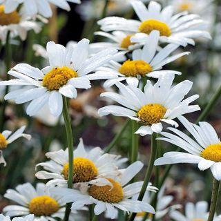 White Breeze Shasta Daisy Seeds