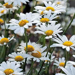 White Breeze Shasta Daisy Seeds