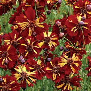 Roulette Coreopsis Seeds