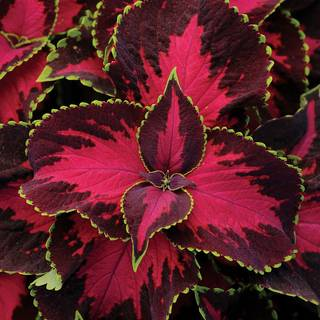 Chocolate Covered Cherry Coleus Seeds