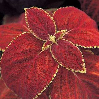 Rustic Red Giant Exhibition Coleus Seeds