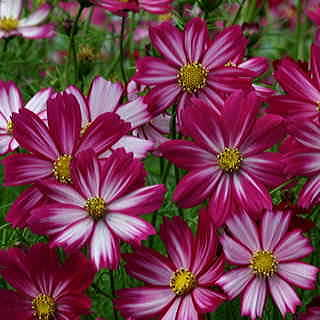 Peppermint Candy Cosmos Seeds
