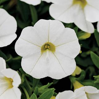 Kabloom® White Calibrachoa Seeds
