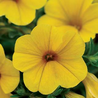 Kabloom® Yellow Calibrachoa Seeds