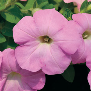 Radiance Lilac Shades Petunia Seeds