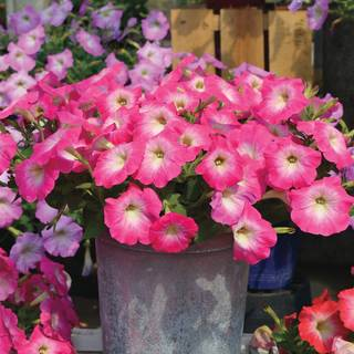 Radiance Pink Morn Petunia Seeds