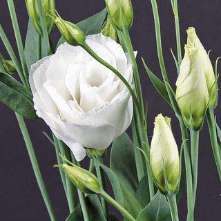 Charisma White Lisianthus Seeds
