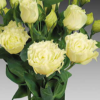 Charisma Yellow Lisianthus Seeds