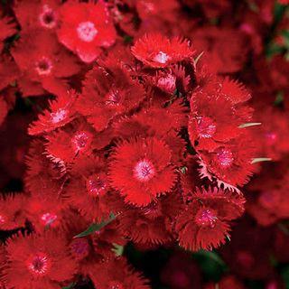 Rockin'™ Red Dianthus Seeds Image
