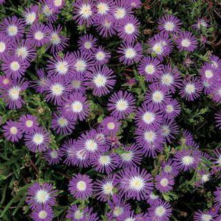 Stardust Delosperma Flower Seeds