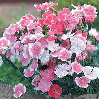 Dulce™ White to Pink Dianthus chinesis China Pink Flower Seeds