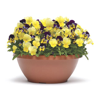 Viola Sunglow Fuseable Seeds