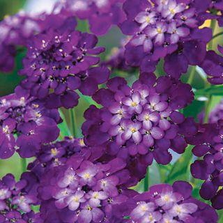Purple Rain Candytuft Seeds