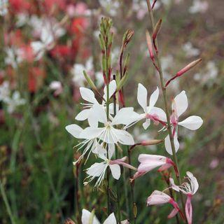 Sparkle White Gaura Seeds