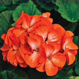 Pinto Premium Orange Geranium Seeds