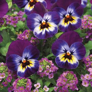 Viola/Alyssum Wine Cooler Fuseable Seeds