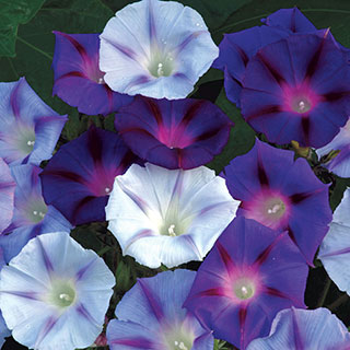 Hazelwood Blues™ Morning Glory Seeds