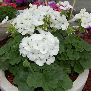 Geranium Nano™ White Seeds