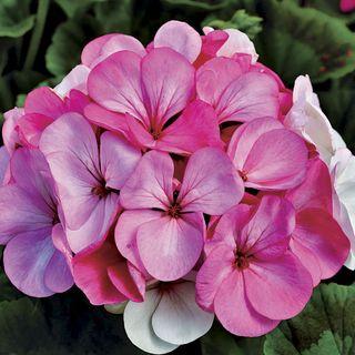 Pinto™ Premium White to Rose Geranium Seeds