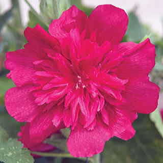 Spring Celebrities Carmine Rose Hollyhock Seeds