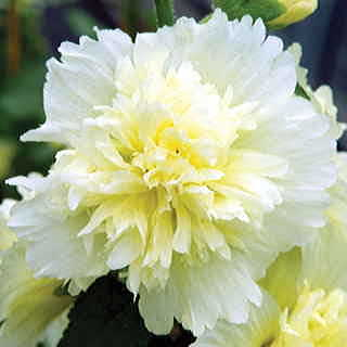 Spring Celebrities Lemon Hollyhock Seeds