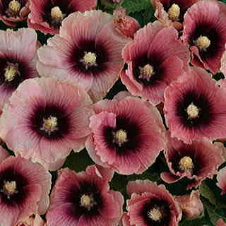 Halo Apricot Hollyhock Seeds