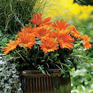 New Day Clear Orange Gazania Seeds