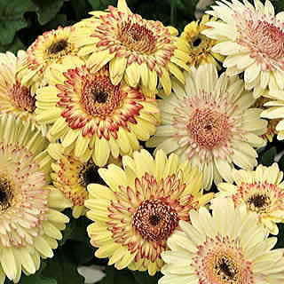 Cartwheel® Strawberry Twist Gerbera Daisy Seeds