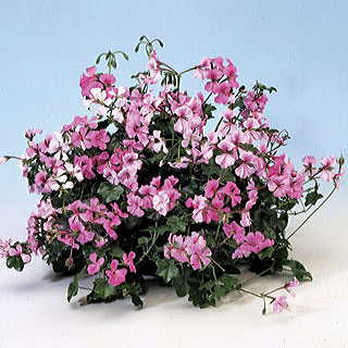 Speedy Mix Geranium Seeds