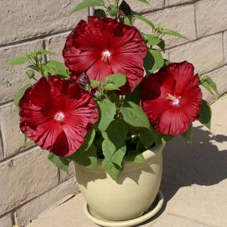 Honeymoon Deep Red Hibiscus Seeds Image