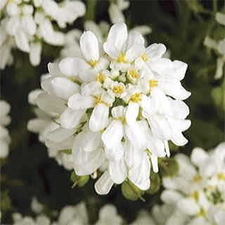 Tahoe™ Candytuft Seeds
