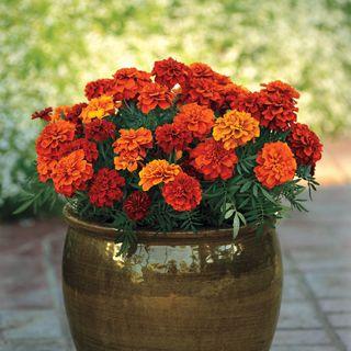 Fireball Marigold Seeds