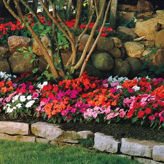 Divine Mix New Guinea Impatiens Seeds