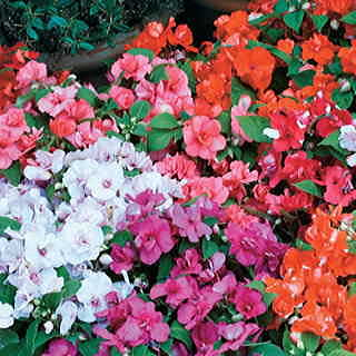 Athena Bright Purple Impatiens Flower Seeds
